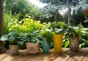 VARIETY OF HEALTHY HOSTA PLANTS in CONTAINERS