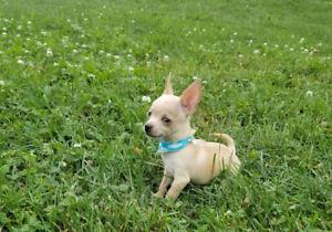 Chihuahua ti cup