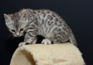 TICA Registered Purebred Silver Bengal kittens