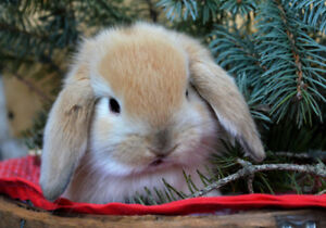 Holland Lop baby bunnies ready before Christmas