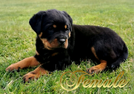 Show Quality Rottweiler Pups (2males Remaning)