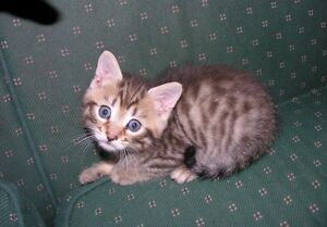 LOOKING TO TRADE BENGAL KITTEN FOR PERSAN OR SPHYNX