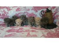 PEDIGREE British shorthair,Longhair,fluffy,bsh kittens cream,ginger,blue,tortie,silver tabby