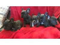 Beautiful Blue Frenchbulldog Puppies