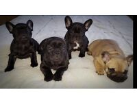 Stunning KC Registered French Bulldog Puppies. Ready to go now!