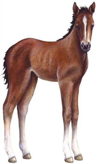 Foal Colt Horse Wall Sticker Decal Mural