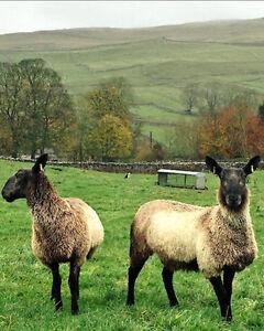 Recherche mouton mâle/sheep male