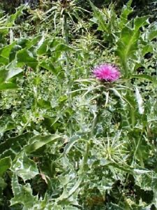 Milk Thistle. Silybum marianum 30 seeds. Medicinal Herb