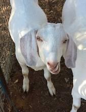 Free-range desexed boy goat McLaren Vale Morphett Vale Area Preview