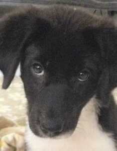 "Baby Female Dog - Border Collie: ""Sweetpea"""