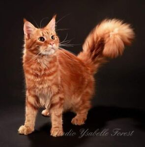 Chatterie Royal wild coon ( Maine coon)