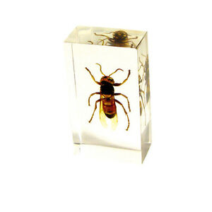 Real-Asian-Giant-Hornet-Insect-Medium-Specimen-Paperweight-Taxidermy-ST3264