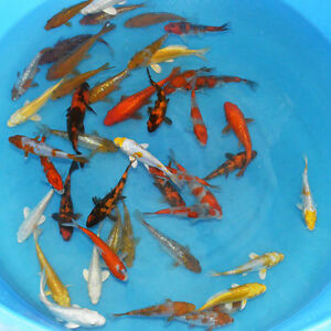 Fish other pets for adoption in edmonton kijiji canada for Japanese koi for sale near me