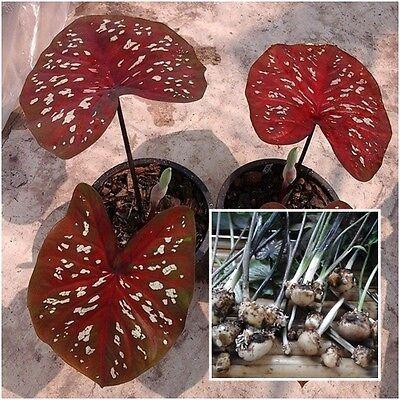 Caladium 1 Bulb Queen of the Leafy Plants ''Ratripradapdao'' Colourful (Caladium Bulb)
