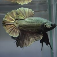Betta Enthusiasts - AAA Quality GIANT Bettas On Sale This Week!!