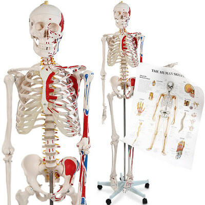 Menschliches Skelett Anatomie Modell mit Detailsund ca 200 Knochen 181,5 cm groß