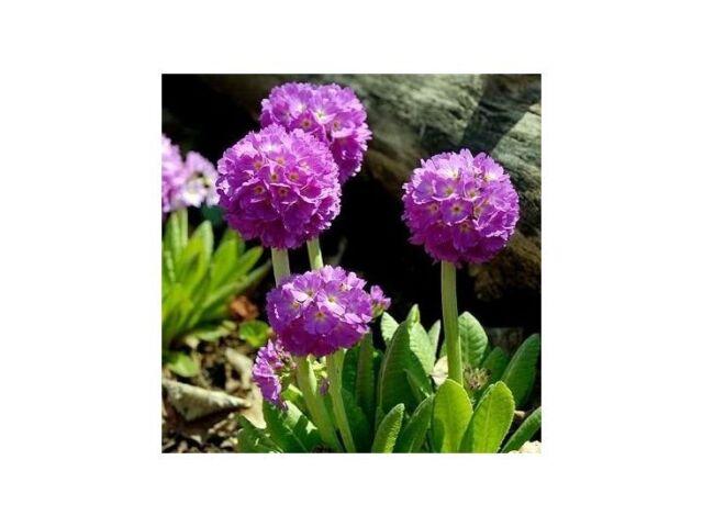 Denticulata Lilac 50 Seeds Primula
