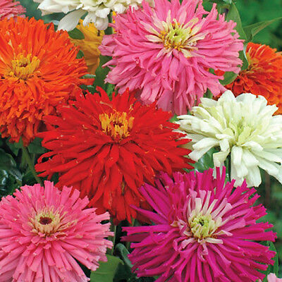 - Zinnia Super Cactus Mix 250 seeds *  Huge 6