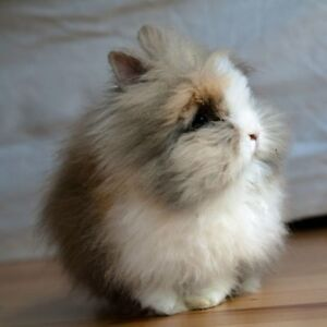 Looking for FREE bunny-lionhead or dwarf or mix-send photos :)