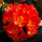 Egrow 100 Pcs/Pack Potted Clivia Seeds Miniata Plant Gorg...