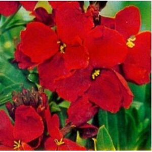 Wallflower 'Blood Red' Chieranthus cheiri ~ 250 seeds Perennial