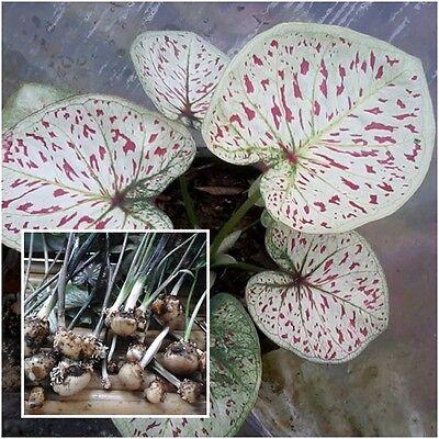 Caladium 1 Bulb Queen of the Leafy Plant ''Thakonphrakiat'' Colourful Tropical  (Caladium Bulb)