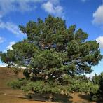Egrow 30 stks / pak Sylvestris Tree Seeds Pinus Sylvestri...