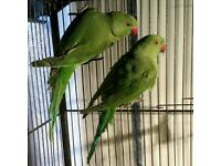 HIGH & STRONG QUALITY Baby Indian Ringneck Talking Parrots [£90 EACH] For Sale + Cages From £30