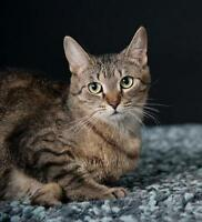 "Young Female Cat - Domestic Short Hair: ""Primrose"""