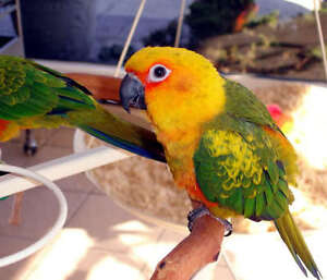 ❤♥☆♥ SUN CONURE ♥ Babies with Cage and Food ♥☆♥❤