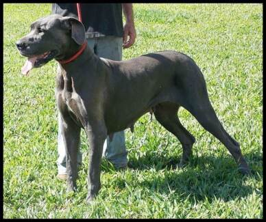 Purebred Registered Great Dane Blue Female for Sale Byfield Yeppoon Area Preview
