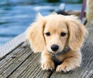ISO SMALL BREED DOG OR PUPPY