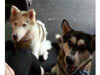 1 male Siberian husky and 1 female Alaskan malamute