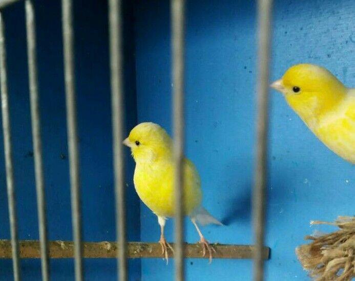 Canarys pair