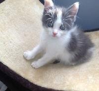 Grayson. Male Rescue Kitten Needs New Family