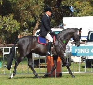 Black ASH Royal Show Quality Colt Flaxton Maroochydore Area Preview