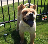 DESPERATE TO FIND CHOW CHOW (EDEN)