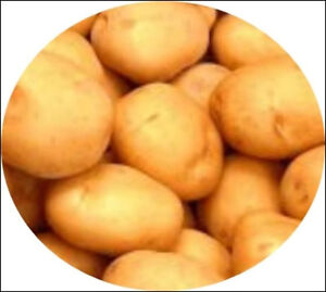Satina-Heirloom-Certified-Seed-Potatoes-Yellow-Skinned-German-Potato-Variety