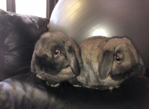 Two beautiful male lop ear bunnies with cage and everything