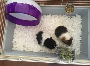 Guinea pigs, cage and accessories