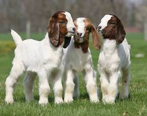 baby goats (kids) for sale Cobbitty Camden Area Preview