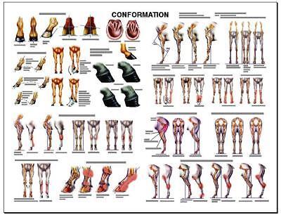 Equine Conformation Anatomy Chart 2 Lfa 2537 Horse