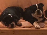 English bulldog puppies KC Reg Males