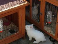 2 young rabbits hutches run and indoor cage