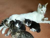 Cross Bengal kittens for sale