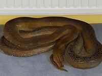 Platinum goldenchild reticulated python