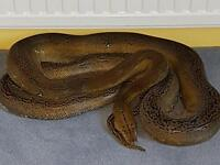 Reticulated pythons (retic)