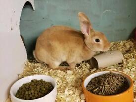 Mini Rex Baby bunnies