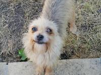 Chihuahua/yorkshire