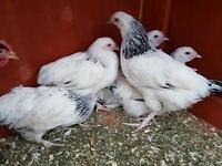 5 light Sussex hens for sale (free range)